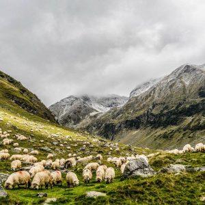 Българската овца – овца с история 3