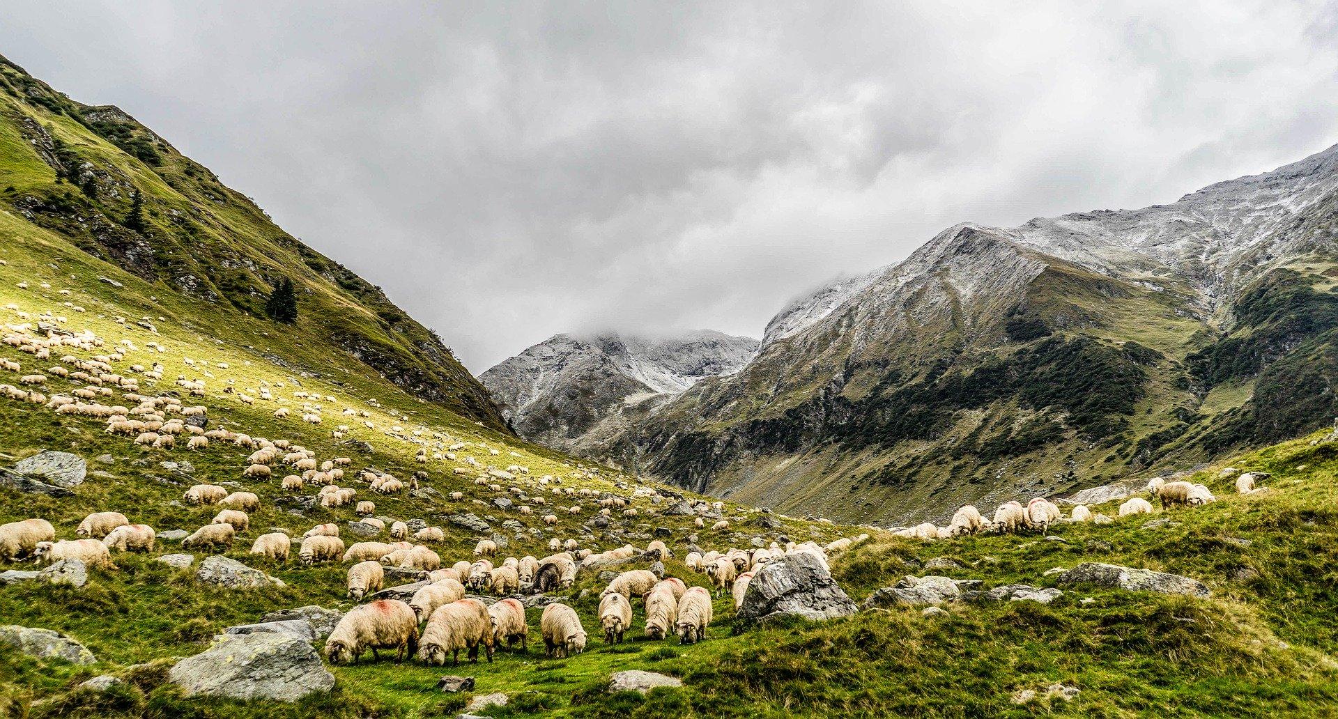 Българската овца – овца с история 1