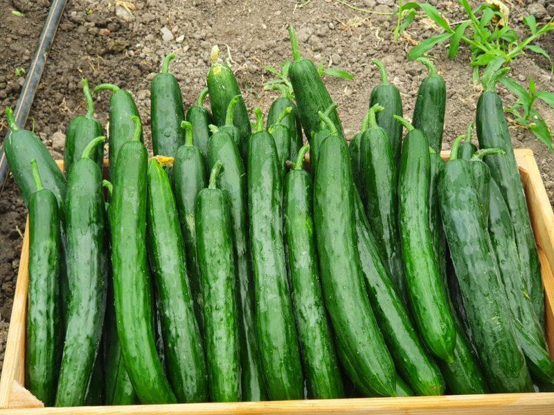 Краставица - сорт тейсти кинг. 1