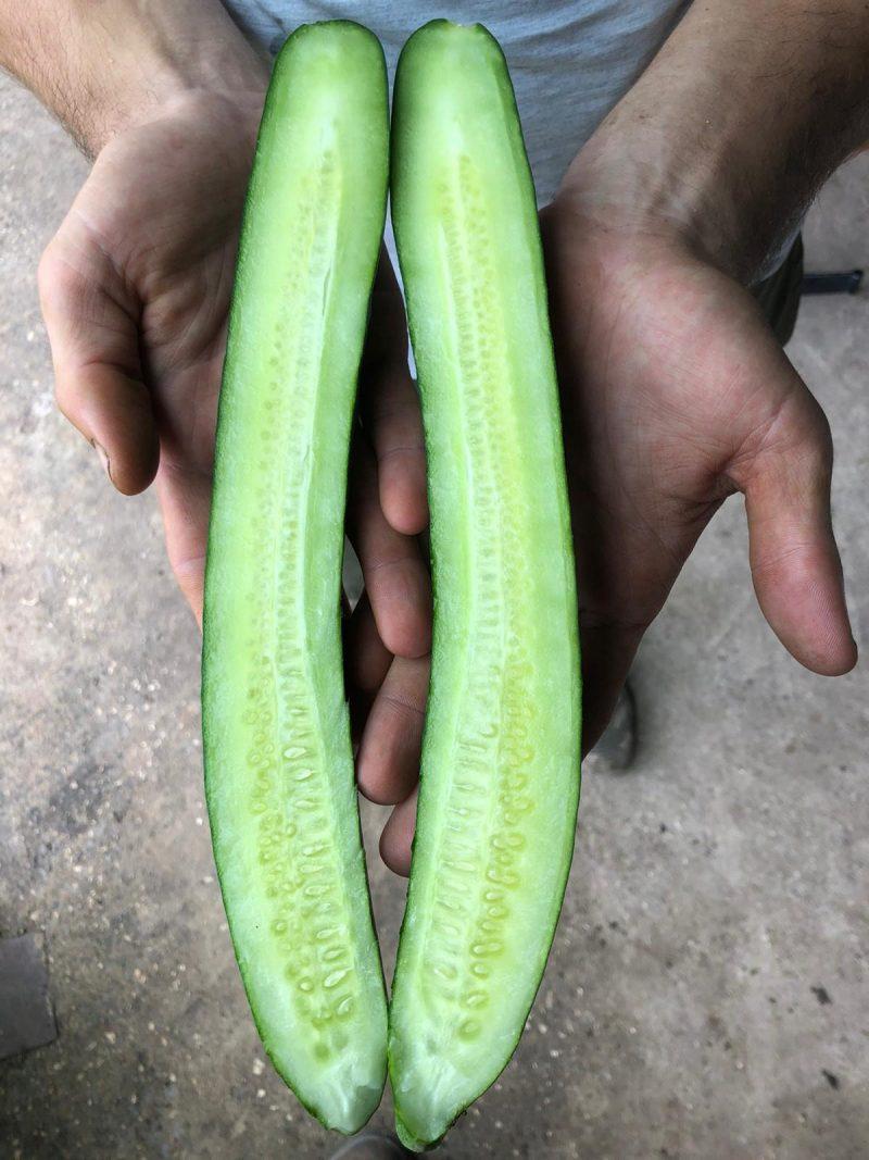 Краставица - сорт тейсти кинг. 2